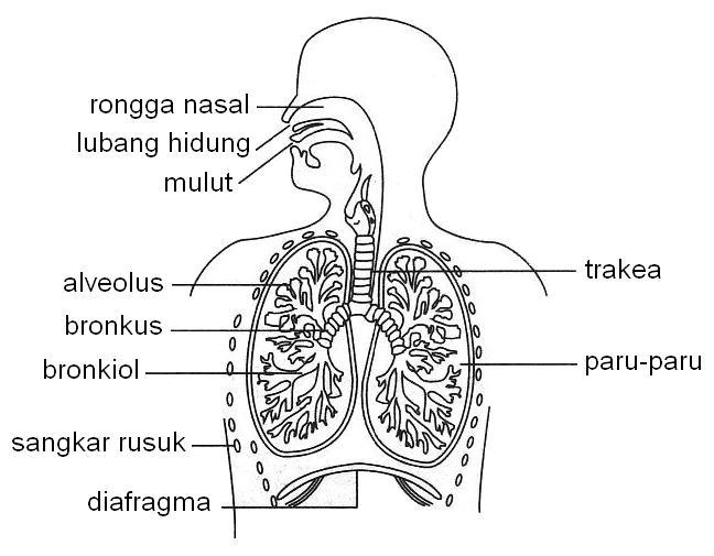 sistem pernafasan manusia