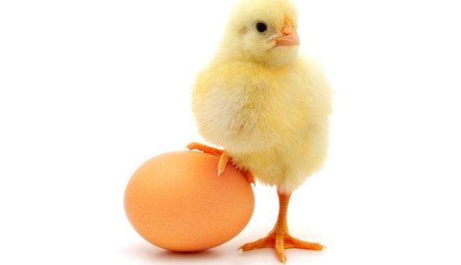 lucu telur ayam ktawa ayo ketawa