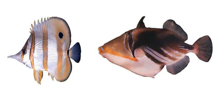 berbagai ikan karang yang mempesona di sebelah kiri ada ikan copperband buttlerfly di kanan ada picasso triggerfish j e randall author provided