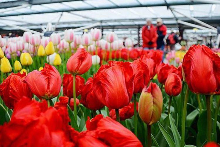 bunga tulip khas belanda dipamerkan di rumah kaca di taman bunga keukenhof belanda bunga